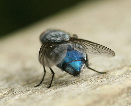 Blue-arsed fly